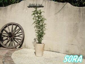 庭木として人気のシマトネリコと丸い素焼きのショコラ鉢!!インテリア・ギフト・!!シマトネリコ...