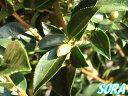 長い間咲き、正月を過ぎても楽しめる!!山茶花・サザンカ 白花 H1300〜1500mm 5本