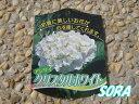 可愛らしい花弁が集まって咲き、白い大花をご堪能下さい。あじさい・アジサイ・西洋紫陽花 ク...