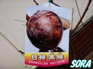 光沢のある黒い完全甘柿!!かき・カキ・甘柿 黒柿 2年生 【RCP】05P19Jun15