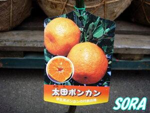 庵原ポンカンの枝変わり!!太田ポンカン 2年生 【RCP】05P08Feb15