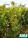 ガーデン・ペット・DIY通販専門店ランキング26位 ポンカン H1600〜1800mm 【RCP】05P03Dec16