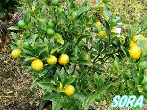 果実は果皮ごと食べられます!金柑・キンカン H1100〜1300mm