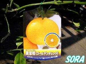 ゴールデンオレンジとも呼ばれます!!黄金柑 2年生 【RCP】05P08Feb15
