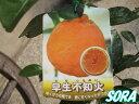 甘さは柑橘類の中でも1・2を争ってます!!早生デコポン 2年生
