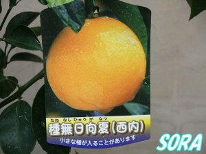 種の無い品種!!ミカン・ヒュウガナツ 種無日向夏(西内小夏) 2年生 【RCP】05P08Feb15