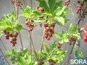 花は真っ赤な花を垂れ下がるように咲かせます。つつじ・躑躅・紅ドウダンツツジ30本