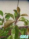葉をつける密度が高く街路樹として活用されています。楠クスノキ H500〜700mm 50本
