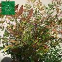 赤白ナンテンセット H700〜900mm 鉢底より 植木 苗