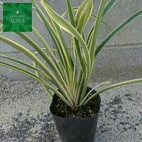 観賞用にもなる有用植物。葉は大きな剣状で革質で根元から扇状に育ちます。ニューサイラン青葉H500〜700◆US