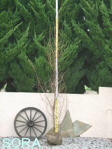 初夏に白い椿のような花を咲かせる庭木!! ヒメシャラ・ヒメシャラ 単木 樹高 H:2000mm