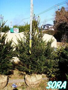 本物!クリスマスツリー・もみのき・モミノキ・クリスマストウヒ・ドイツトウヒ 樹高 H:1800mm