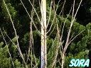 ソメイヨシノ 単木 樹高 H:2500mm