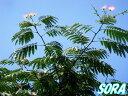 香りは桃のようにあまいです!!合歓木・ネムノキ 単木 樹高H:2000mm 【RCP】P14Nov15