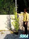 ムクゲ ピンク 樹高H:1800mm