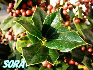 赤い実と緑の葉が美しい!!別名はクリスマスホーリー  西洋柊・西洋ヒイラギ セイヨウヒイラギ...