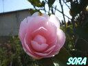 ピンク色の八重咲き椿!!ツバキ・つばき・久留米乙女椿 単木 樹高H:2000mm