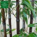 クロチク 株立 樹高 H:1800mm 植木 苗