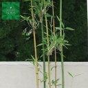 ダイミョウチク 株立 樹高 H:2000mm 植木 苗