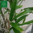 ダイミョウチク 株立 樹高 H:1500mm 植木 苗