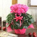 【シクラメン】6号 鉢 花 シクラメン 花 ピンク お歳暮 花 クリスマス プレゼント 花