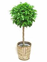観葉植物ベンジャミンスタンダード(ねじり)8号籐鉢カバー付正面