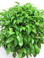 観葉植物ベンジャミンスタンダード(ねじり)8号籐鉢カバー付葉アップ