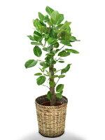 観葉植物アルテシマ(アルテシーマ)ゴムの木7号籐鉢カバー付正面