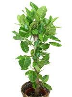 観葉植物アルテシマ(アルテシーマ)ゴムの木7号籐鉢カバー付左側