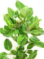 観葉植物アルテシマ(アルテシーマ)ゴムの木7号籐鉢カバー付葉アップ