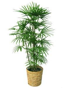 】高級感漂う和モダンな観葉植物棕櫚竹(シュロチク) 10号【立て札&メッセージカード無料】10P03Dec16