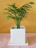観葉植物  チャメドレア(テーブルヤシ)白陶器鉢仕立て10P01Oct16