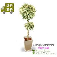 観葉植物スターライトベンジャミンスタンダード(ねじり)6号