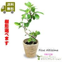 観葉植物アルテシマ(アルテシーマ)ゴムの木7号幹曲り正面