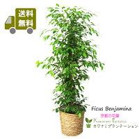 観葉植物ベンジャミン10号籐カバー付正面