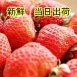 いちご 小粒 2Kg あまおう 訳あり イチゴ 送料無料 産地直送 朝摘み ギフト 甘い 新鮮 おいしい 福岡 博多