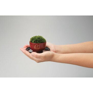 ミニ盆栽 苔玉 朱 ありがとう [キャンセル・変更・返品不可][代引不可][同梱不可][ラッピング不可][海外発送不可]