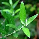 オリーブの苗「オリーブ・ネバディロブランコ 12cmポット」
