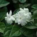 アラビアンジャスミン一重咲き(マツリカ一重咲き) /ハーブの苗 9cmポット