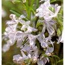 ハーブの苗 只今冬季お得価格「ローズマリー・ミスジェサップ 9cmポット」(立性)