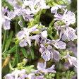 【DM便不可】【冬価格】ハーブの苗 「ローズマリー・サンタバーバラ 9cmポット」(匍匐性)