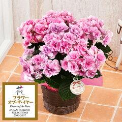 【母の日フラワーギフト】【送料無料】【鉢植え・花鉢】「アジサイ フェアリーアイ〜イイハナ人気N…