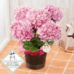 【母の日フラワーギフト】【送料無料】【鉢植え・花鉢】「アジサイ 舞姫〜世界初のマーブルカラー〜」