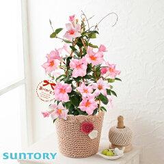 【母の日フラワーギフト】【鉢植え・花鉢】「サンパラソル ミルキーピンク」