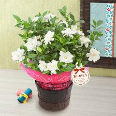 【母の日フラワーギフト】【送料無料】【鉢植え・花鉢】「ガーデニア(くちなし)」