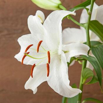 母の日鉢植え「オリエンタルリリー花の女王カサブランカ」