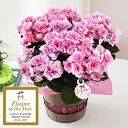 吸い込まれてしまいそうに美しい、華麗なピンクのアジサイ【母の日ギフト】【送料無料】鉢植え...