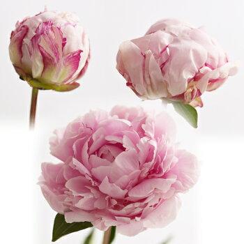 【母の日】【3/31まで早期割引】花束「芍薬美人」