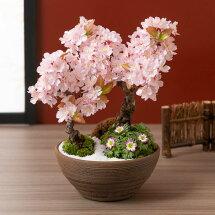 盆栽「春の訪れ 和み桜」
