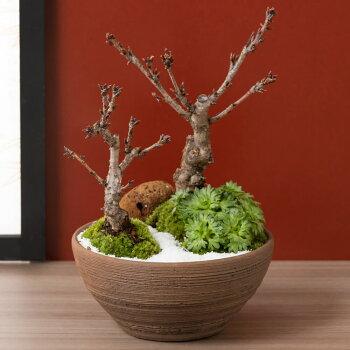 盆栽「春の訪れ和み桜」